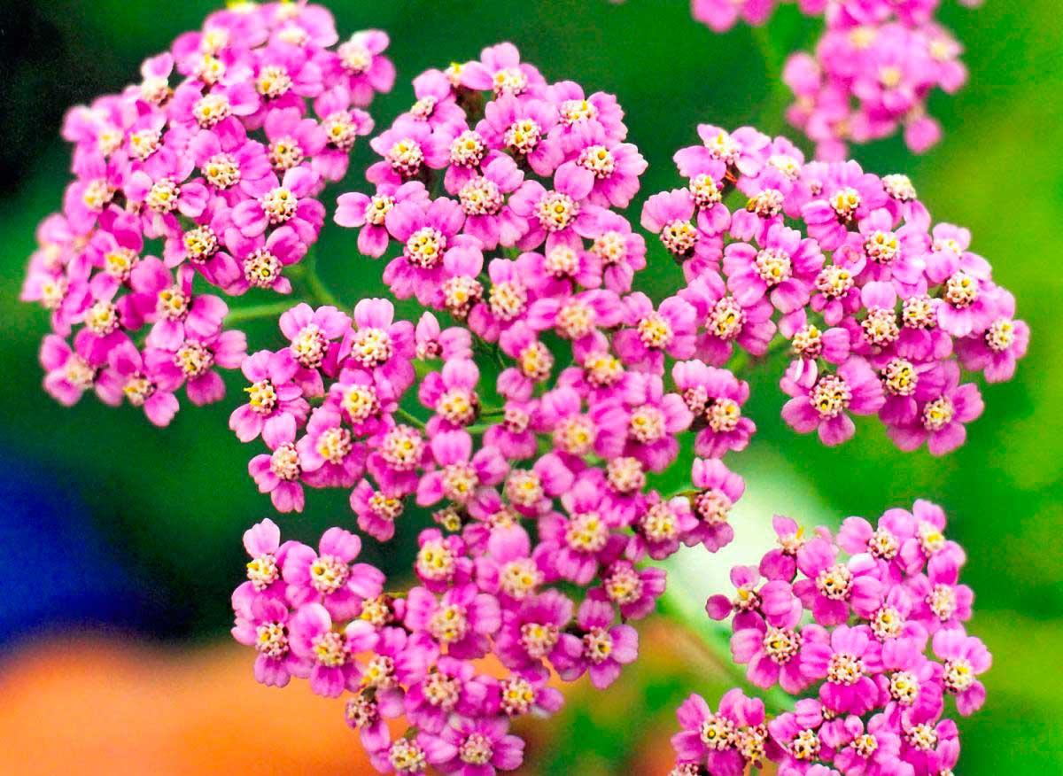 Целебные цветы фото и название